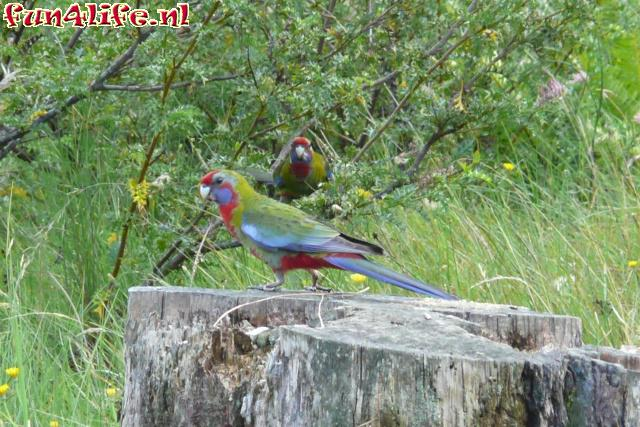 Eastern Rosella / Liden Mantle