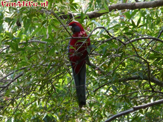 Mountain Lowry / Red Lory